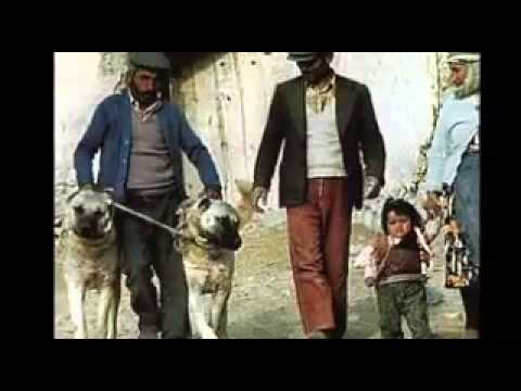 turkish kangal dog introduction 2010   youtube