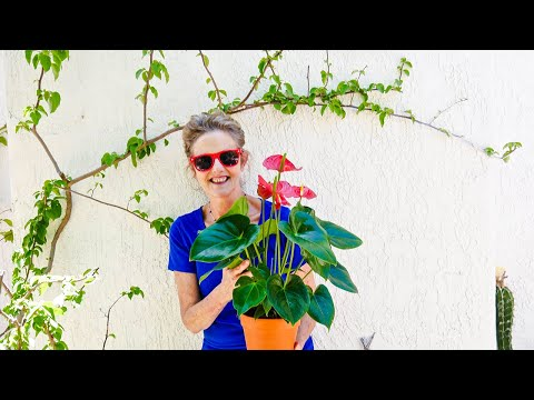 ANTHURIUM CARE: A BEAUTIFUL BLOOMING INDOOR PLANT /JOY US GARDEN