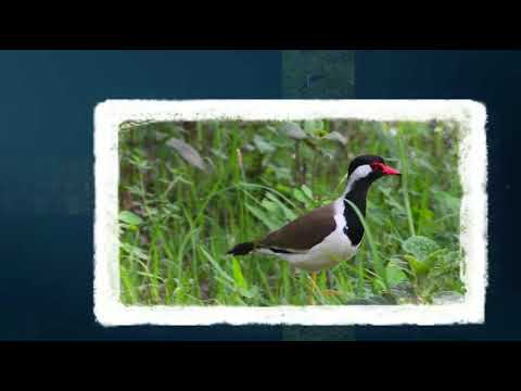 Red-wattled lapwing sound
