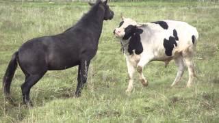бык и лошадь1