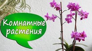 Что такое орхидея МУЛЬТИфлора? Ароматный пышный фаленопсис(В этом видео я рассказываю, что такое орхидея фаленопсис мультифлора и чего от нее ожидать. Чем пахнут орхид..., 2016-02-14T17:34:55.000Z)