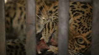 Leopard Rescue - Leopards: 21st Century Cats - Natural World - BBC Two