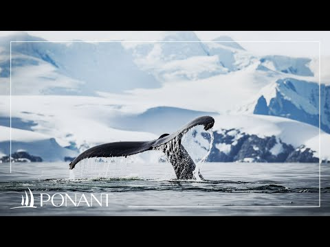 Our Greenland cruises: from polar ice caps to humpbacks | PONANT