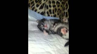 Котёнок Нюся найдена была вся в опарышах.
