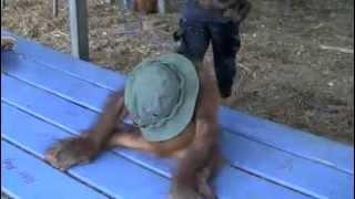 Cute Orangutan Baby Dancing