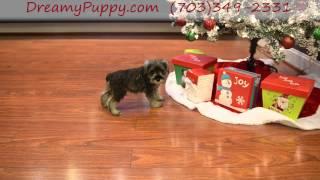 Dreamy Puppy Mini Schnauzer Boy!