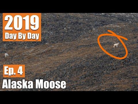 Moose Hunt Turned Sheep Hunt | 2019 Alaska Moose (Ep. 4)