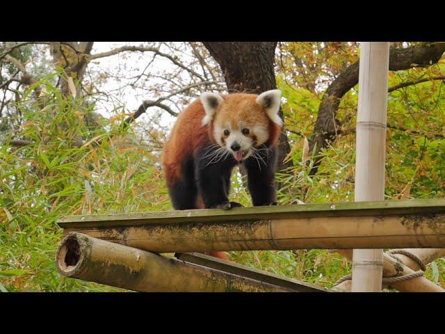 Rencontre avec les pandas roux de la ménagerie du Jardin des Plantes