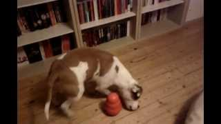 Staffordshire Bull Terrier Working For His Food