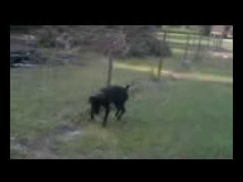 dog pees on electric fence u0026 gets dog pees on electric fence gets shocked