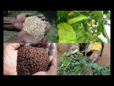 Folk Rice Formulations for Kidney cancer: Pankaj Oudhia's Medicinal Plant Database