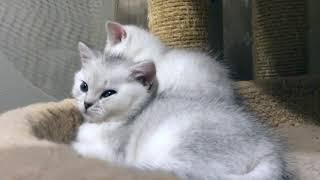 Британские серебристые короткошерстные зеленоглазые котята