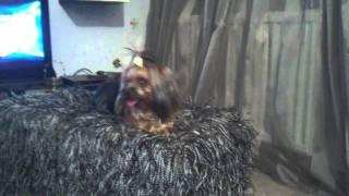 Yorkshire Terrier(maya) Vs Maltese(bianco)