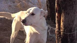 Собаку привязали в лесу на 20 гр. морозе