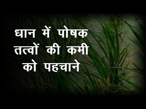 Dhan Me Poshak Tatwa | धान में पोषक तत्वों की कमी को कैसे पहचाने | Paddy Farming
