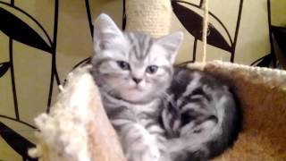 Британские котята Барни помет В