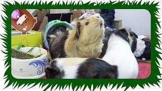 geheime botschaft fr die meerschweinchen danke   die meeries