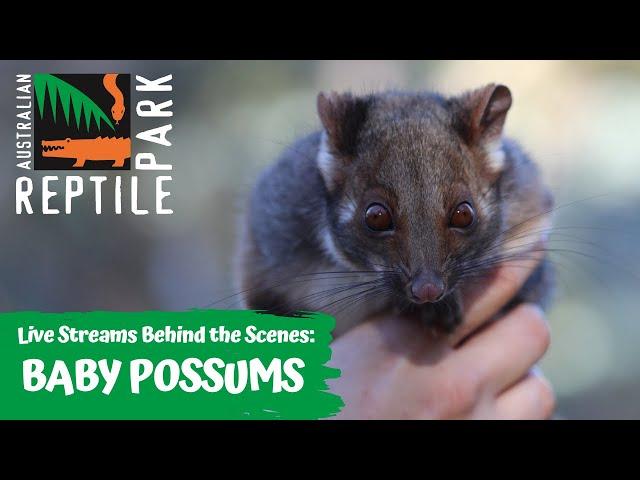 BABY RINGTAIL POSSUM JOEYS (LIVE FOOTAGE) | AUSTRALIAN REPTILE PARK