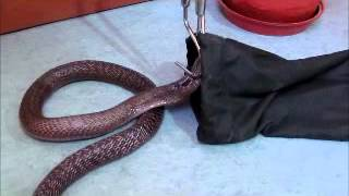 Repeat youtube video Rescue of Common Cobra Using  Snake stick and Bag