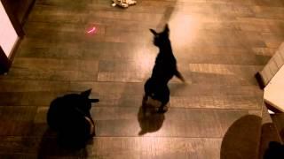 Miniature pinscher cats. Кошки-пинчеры :)