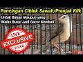 Pancingan Ciblek Sawah Agar Bunyi  Mp3 - Mp4 Download