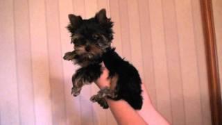 щенок йорка мальчик 3 месяца
