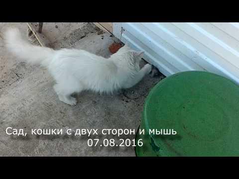 Кошка аська загнала мышь в кастрюлю