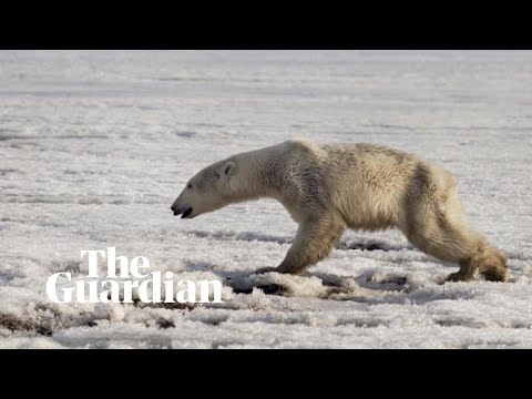'Exhausted' polar bear found 700km from home in Russian village