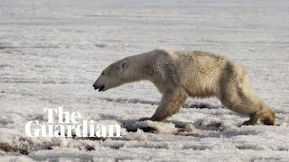 Polar bear found 700km from home in Russian village Residents of a village in Russia have been stunned by the sight of a polar bear 700km from its usual habitat. The people of the far eastern Kamchatka Peninsula ..., From YouTubeVideos