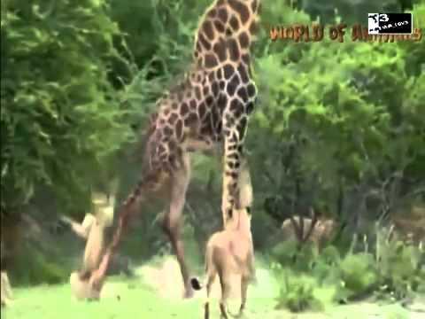 Thế giới động vật Hổ báo tuyệt chiêu săn mồi