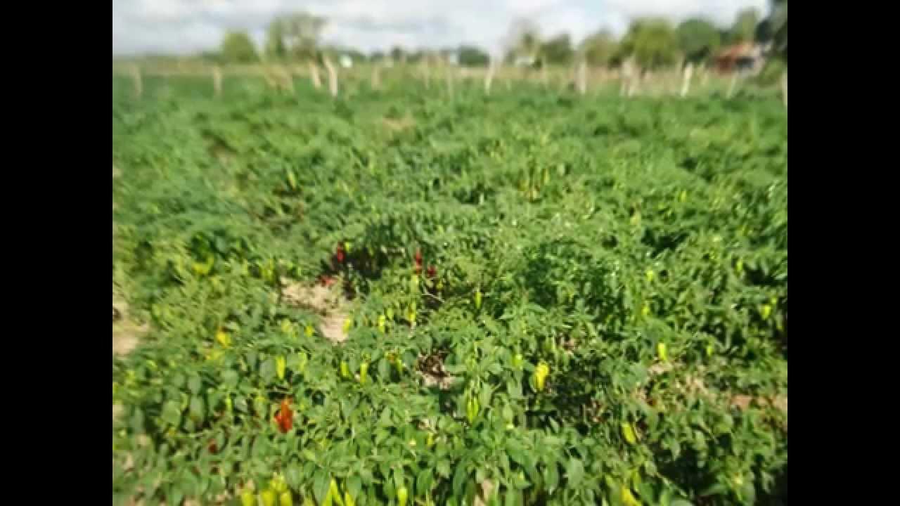 Plantas de chile coste o youtube for Plantas de exterior chile