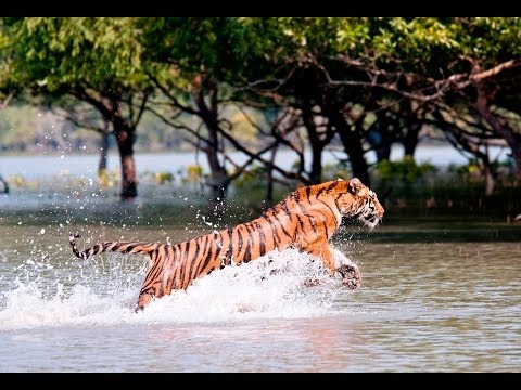 the sundarban forest Sundarbans, formerly sunderbunds, vast tract of forest and saltwater swamp forming the lower part of the padma (ganges [ganga])-brahmaputra river delta in southeastern west bengal state, northeastern india, and southern bangladesh.