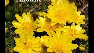 видео Названия цветов для балкона (63 фото): балконные вьющиеся и ампельные растения на северной стороне