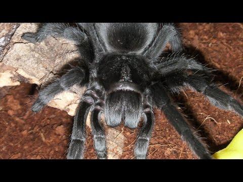 How to care for a Brazilian Black Tarantula (G. pulchra)
