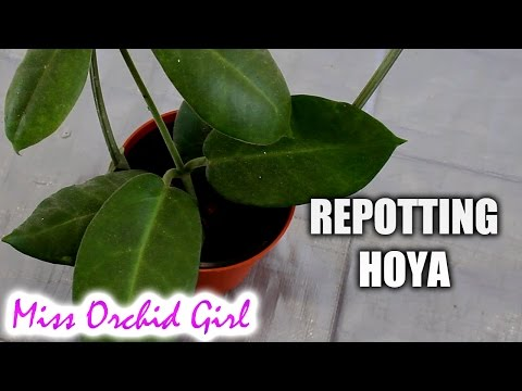 How To Repot A Hoya Plant Youtube