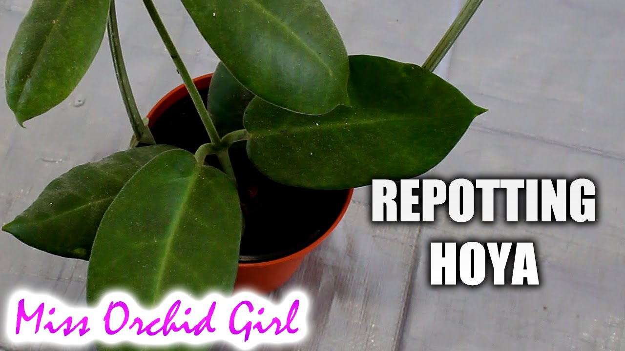 How To Repot A Hoya Plant