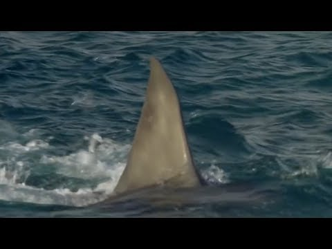 Michael Phelps vs Great White Shark Race! #sharkweek #phelpsvsshark
