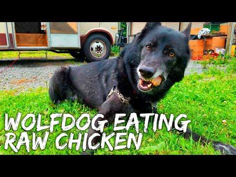 Wolfdog Eating Raw Chicken