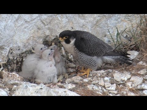 Wanderfalke – Vogel des Jahres 2018