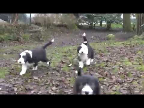 Bearded Collie puppies 25 February 2017