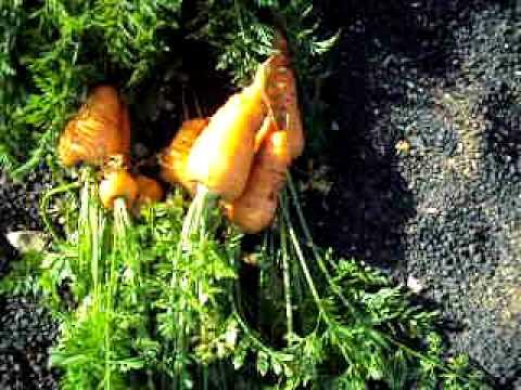 zanahoria cultivo: