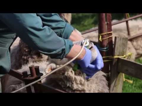 Correct Drenching Technique - Sheep Worming