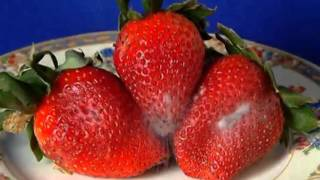 Strawberry-Rhizopus - time lapse