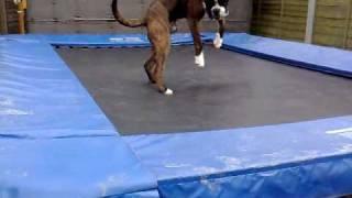 Bonzo The Boxer Falls Off The Trampoline!