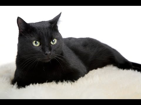 25.01.17 - Bombay Cat Licks it Self
