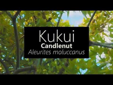 Kukui (Candlenut) Aleurites moluccana
