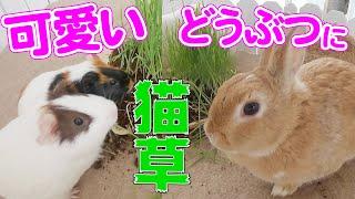 【至福の時間】】モルモットみんなでムシャムシャおやつタイム【大食い】Guinea pigs eat cat grass