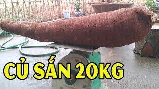 Người Dân Phú Thọ Bất Ngờ Đào Được Củ Sắn Kh,ổng Lô` Hơn 20Kg - TIN TỨC 24H TV