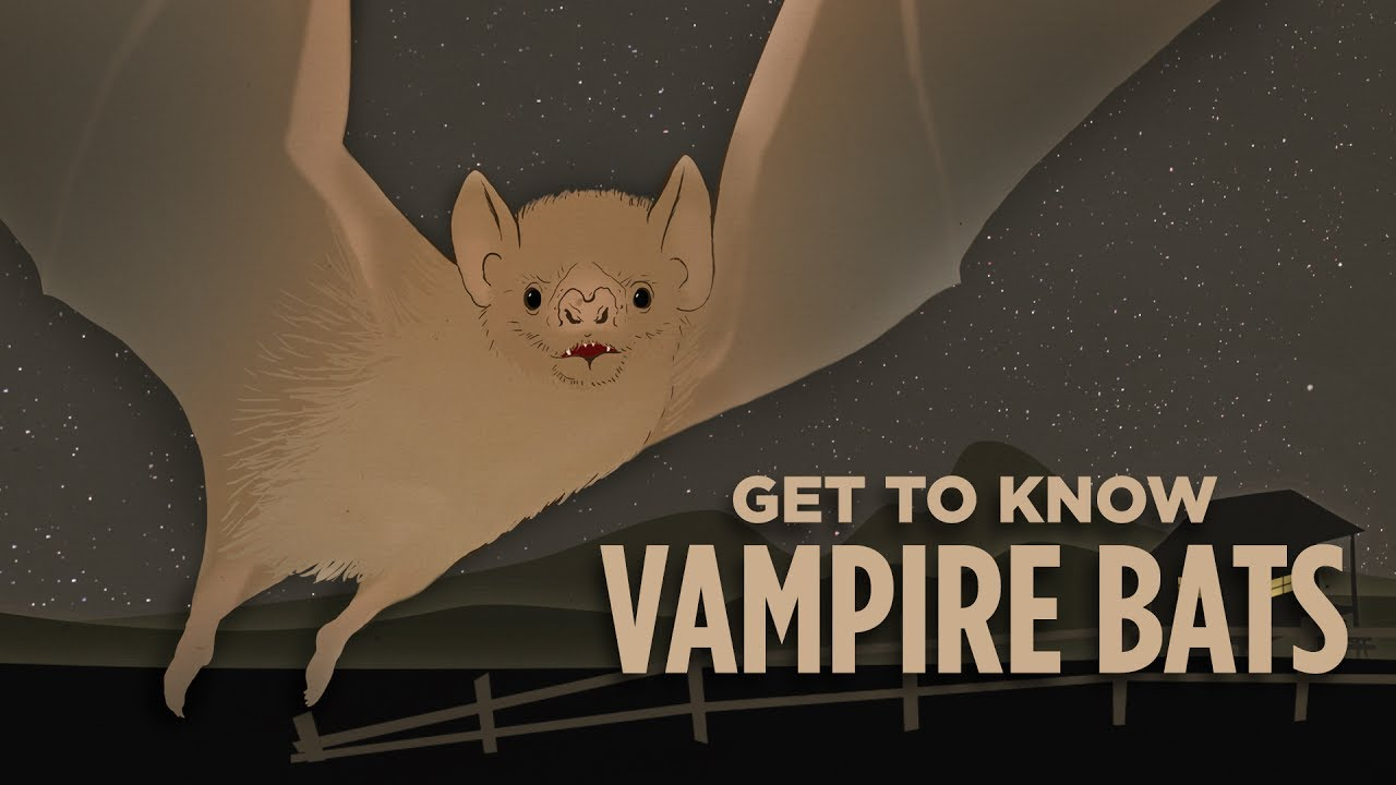 should-we-wipe-out-vampire-bats-good-question-skunk-bear