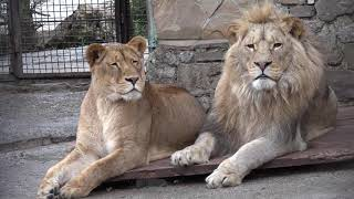 Легенда и Симба - красивейшая пара!